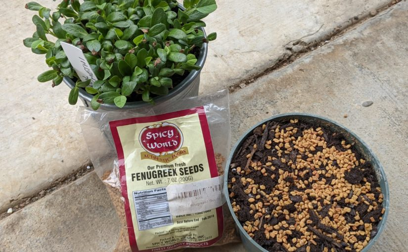 Growing Fenugreek